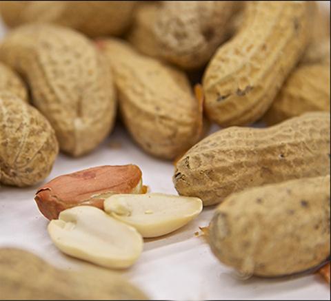 peanut med school students in gross anatomy lab